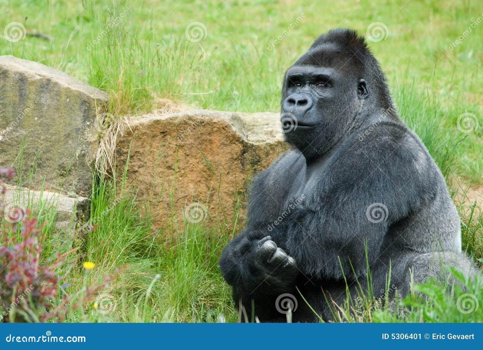 Download Gorilla maschio immagine stock. Immagine di scimmia, intelligenza - 5306401