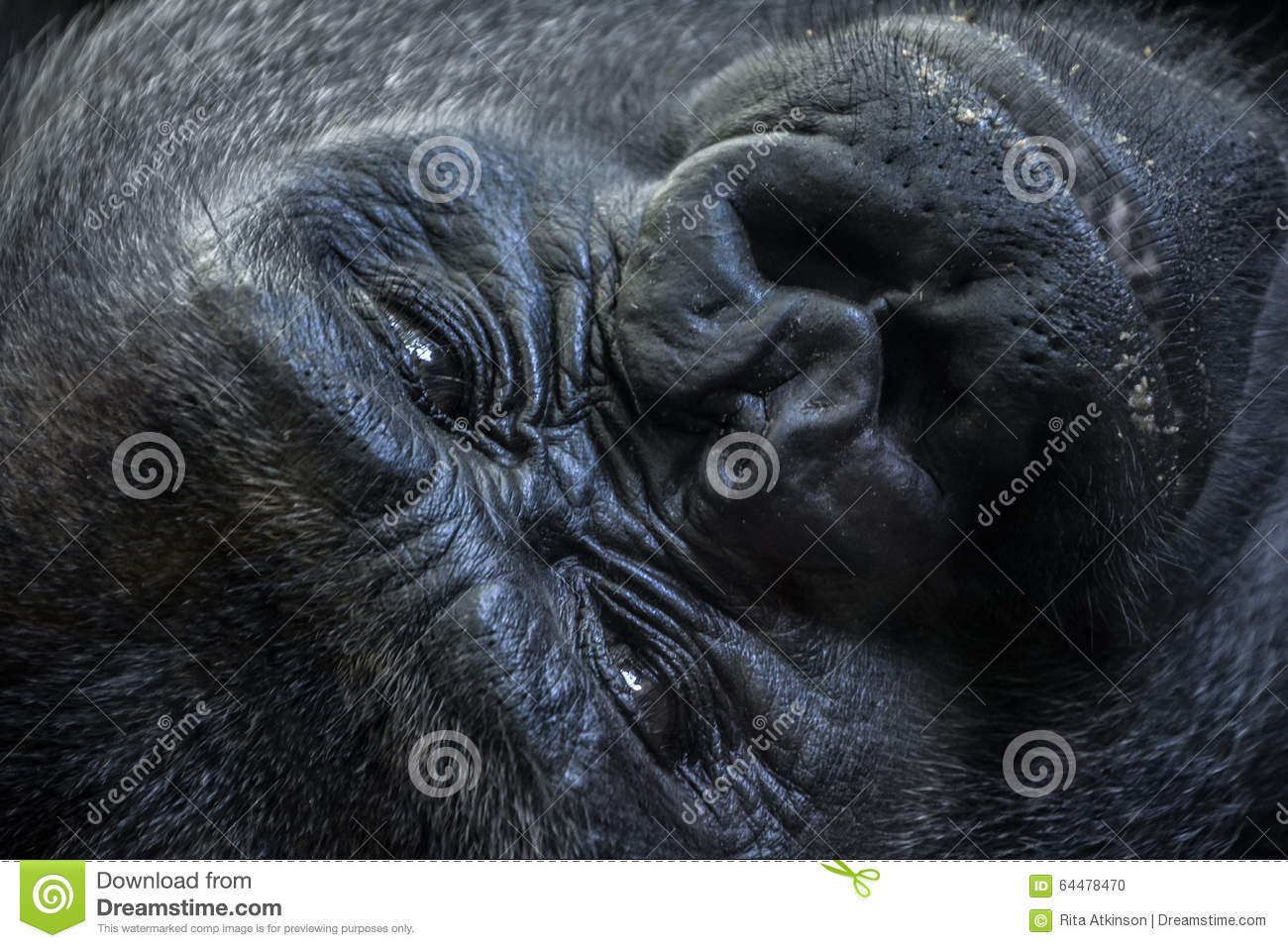 Gorilla Face Line Drawing : Portrait of a gorilla face royalty free stock photo