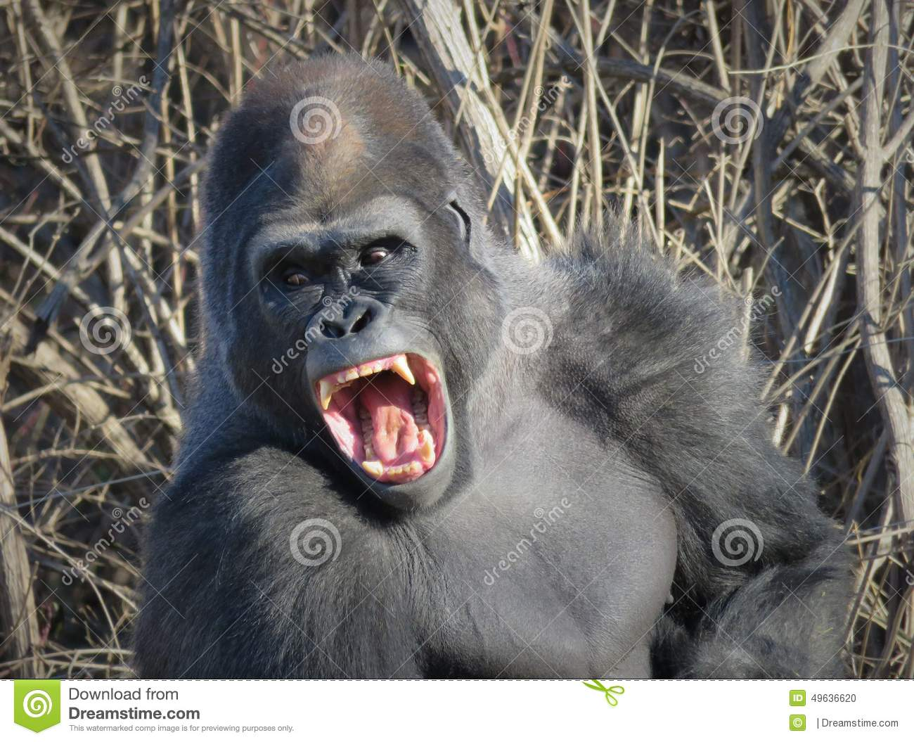 Gorilla Yawning Like King Kong! Stock Photo - Image: 49636620
