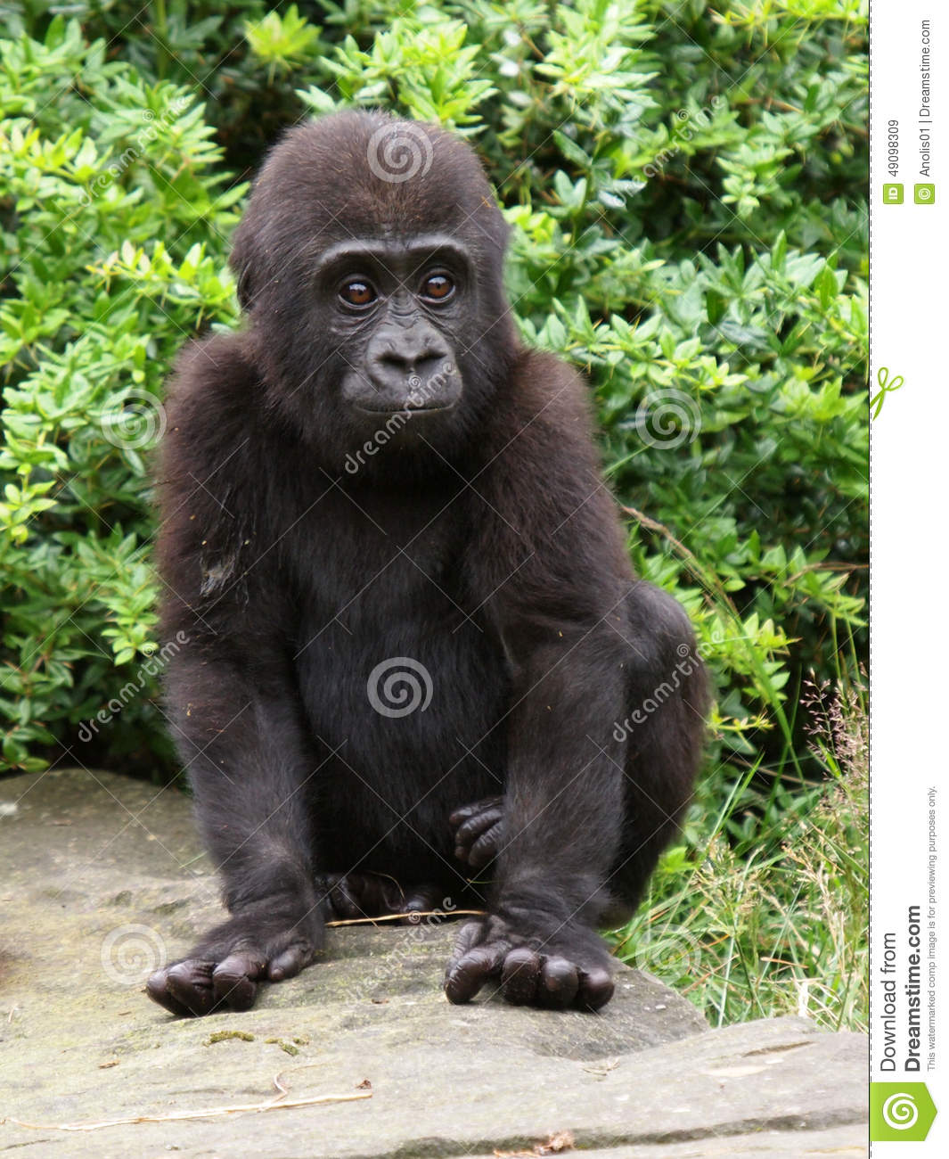 Download Gorilla youngster stock image. Image of closeup, background - 49098309
