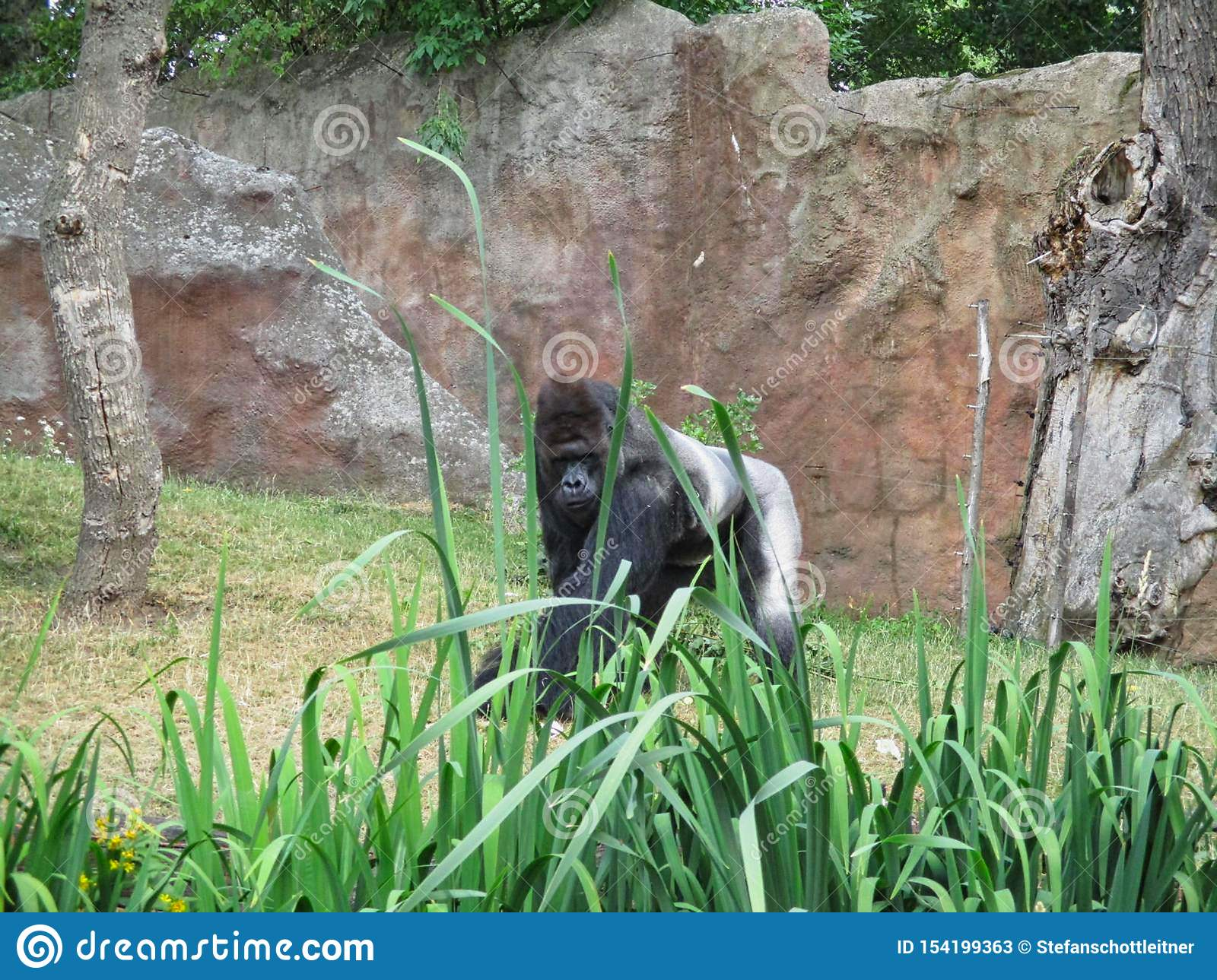 a gorilla in the zoo