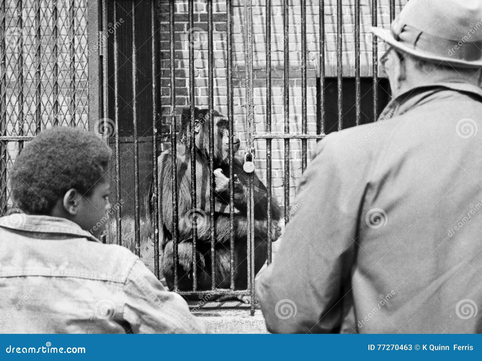 Gorilla in Zoo in 1972