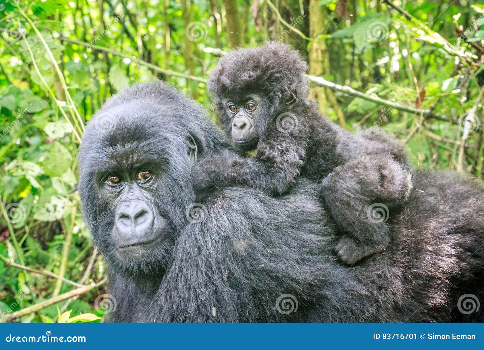 Gorille de montagne de bébé au dos de sa mère