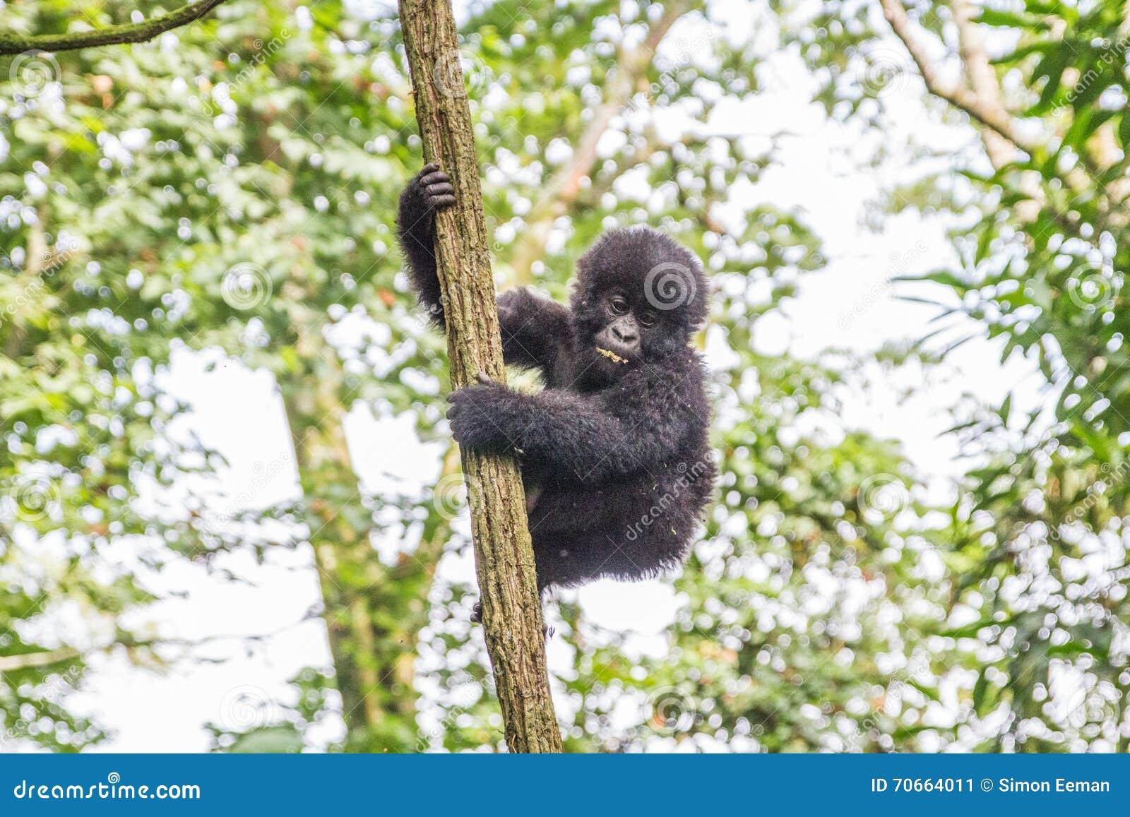Gorille de montagne de bébé dans un arbre en parc national de Virunga