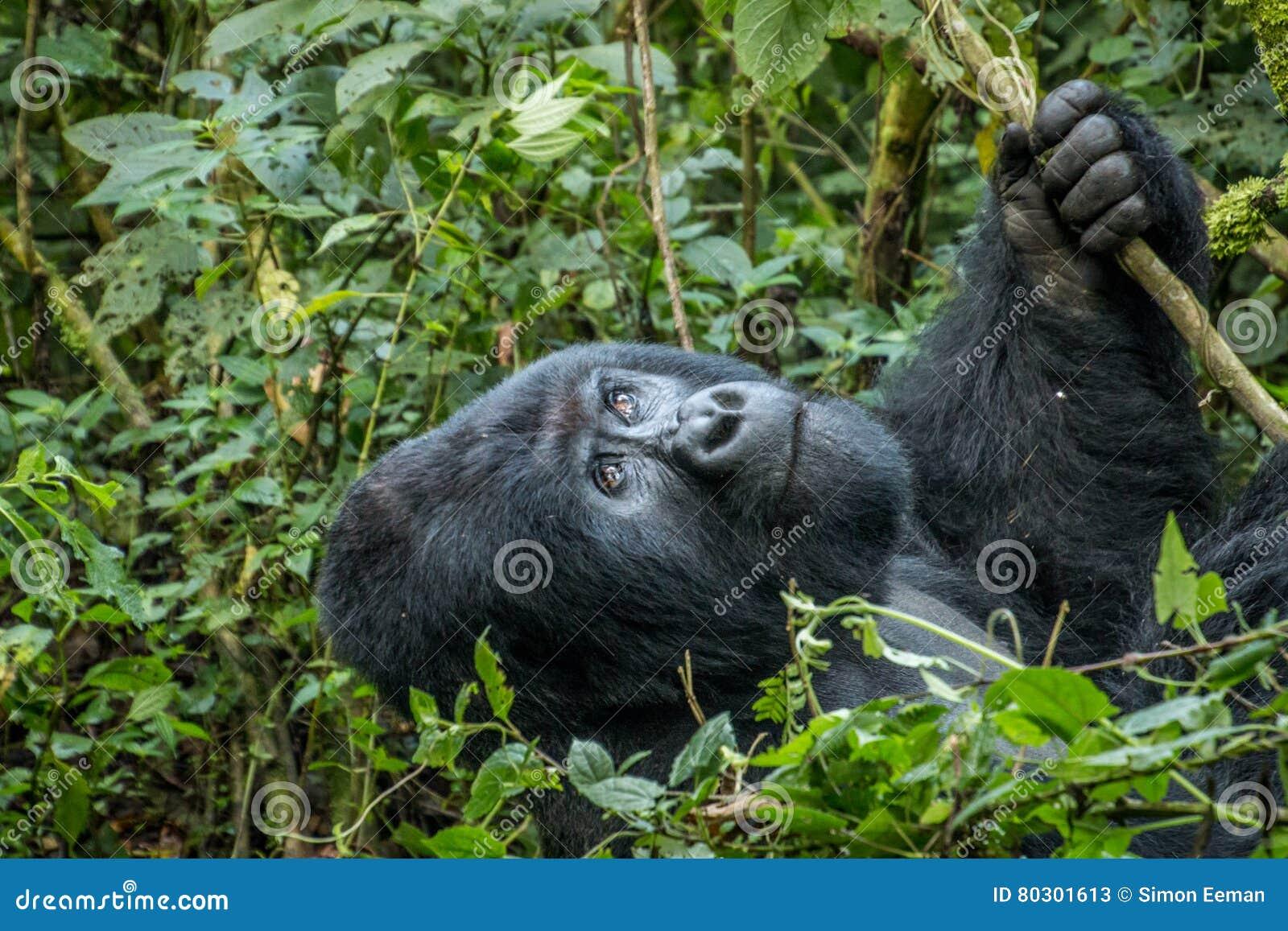 Gorille de montagne de Silverback recherchant