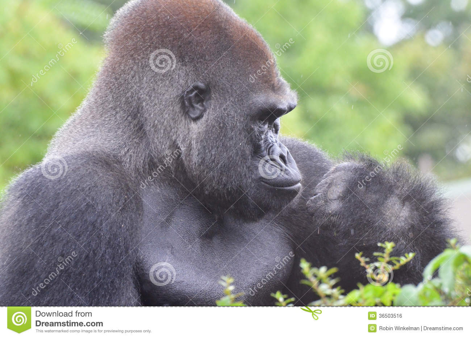 Gorille masculin sous la pluie 2