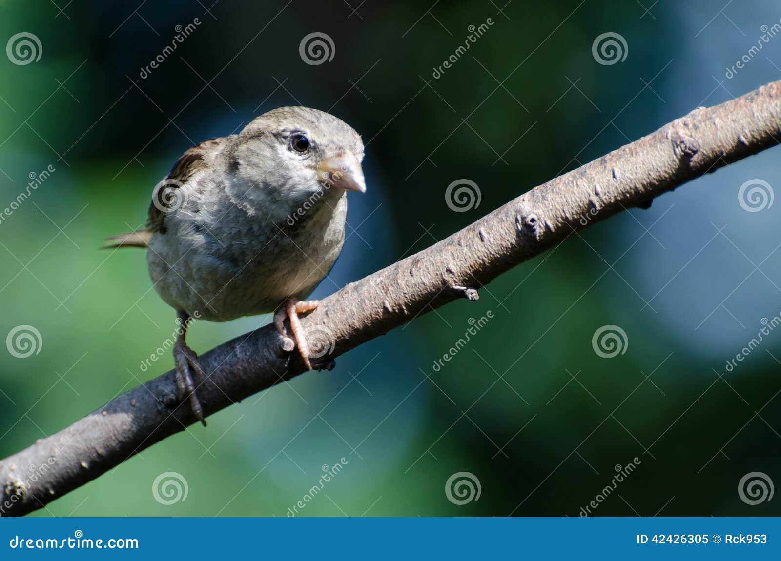 Gorrión de casa joven encaramado en una rama