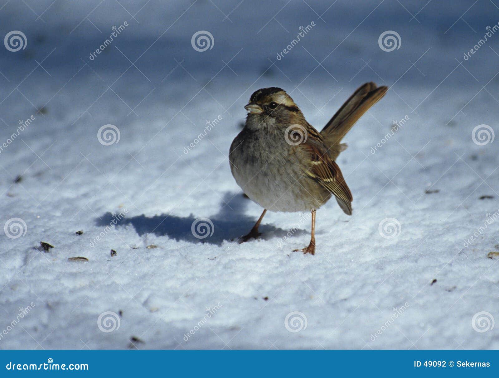 Gorrión de la nieve