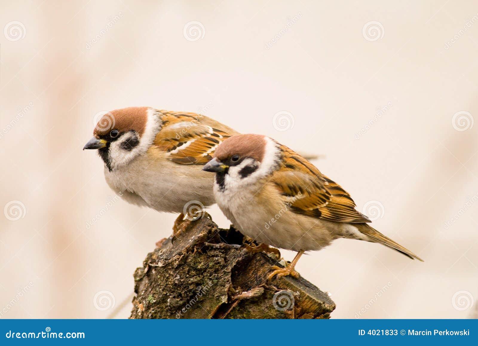 Gorriones de árbol de los pares en un palillo