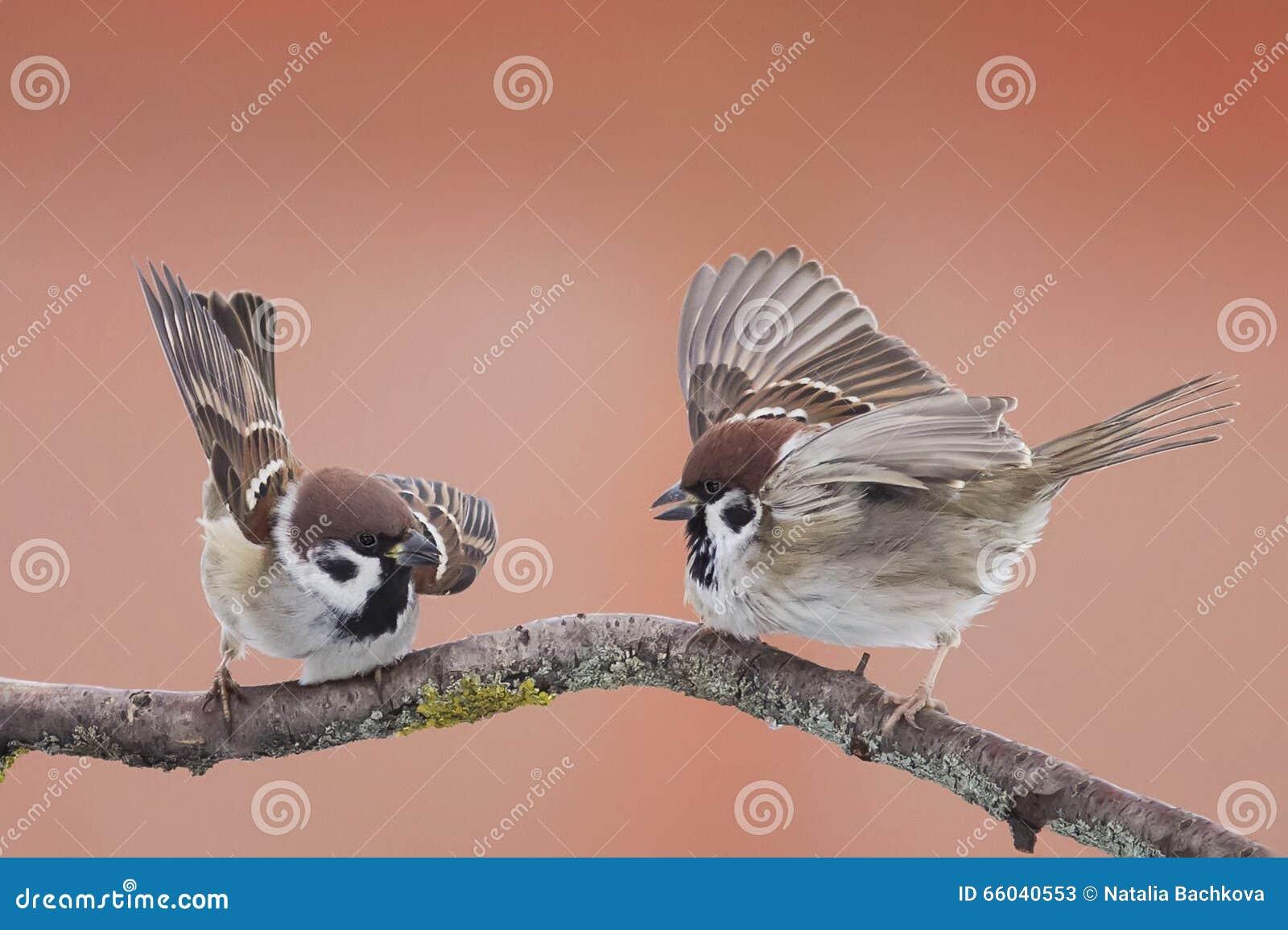 Gorriones de los pájaros