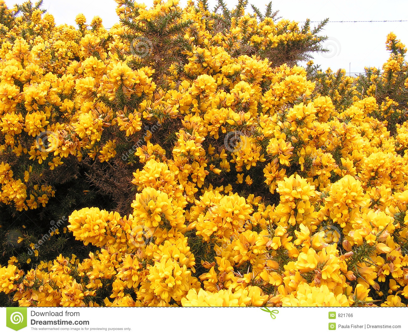 Gorse Flowers Stock Photo Image Of Fence Clear Cloudy 821766