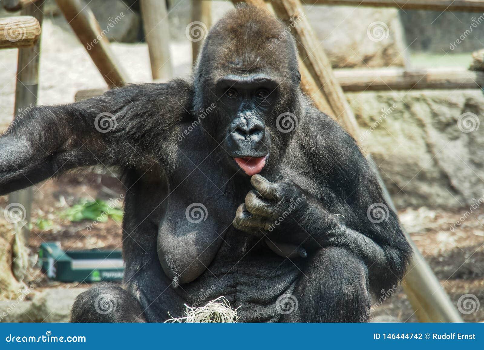 Goryla stare kobiety w niemieckim zoo