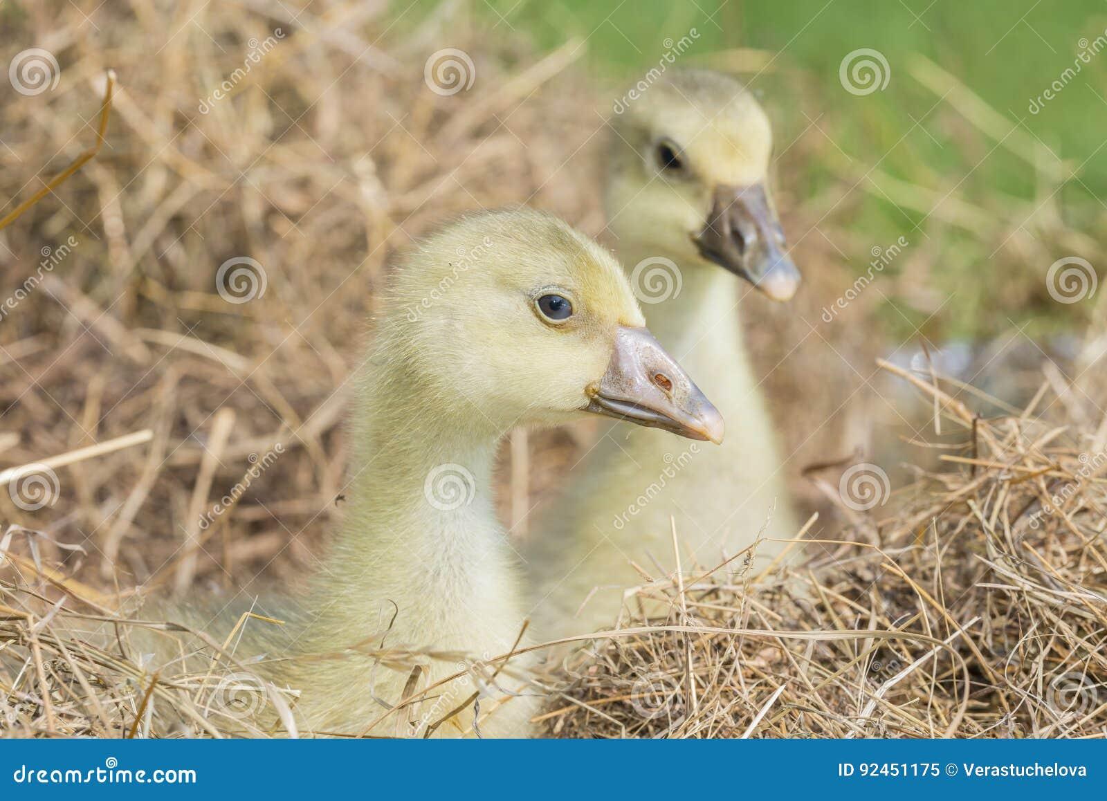 Goslings - white goose