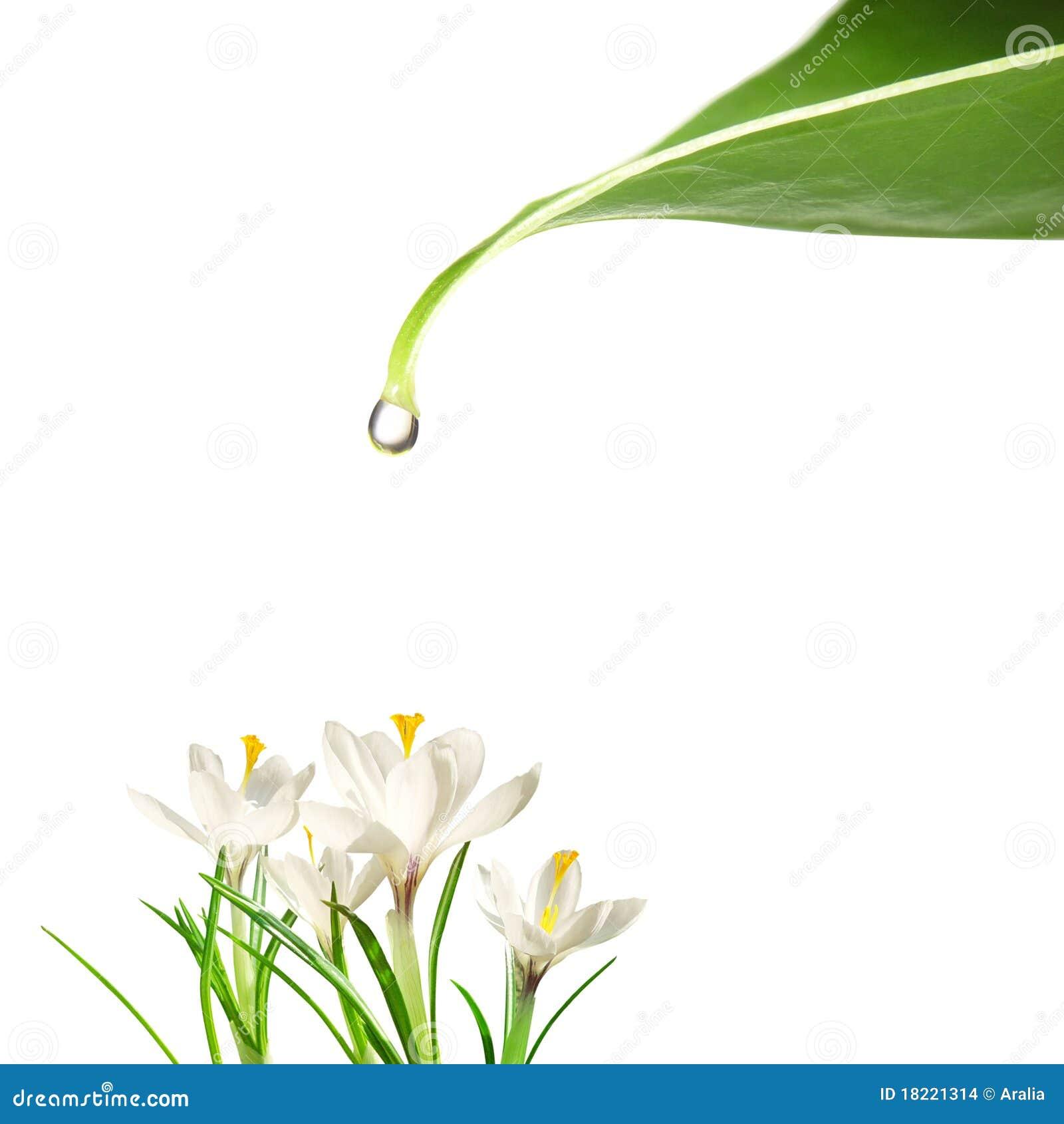 Gota da água e das flores
