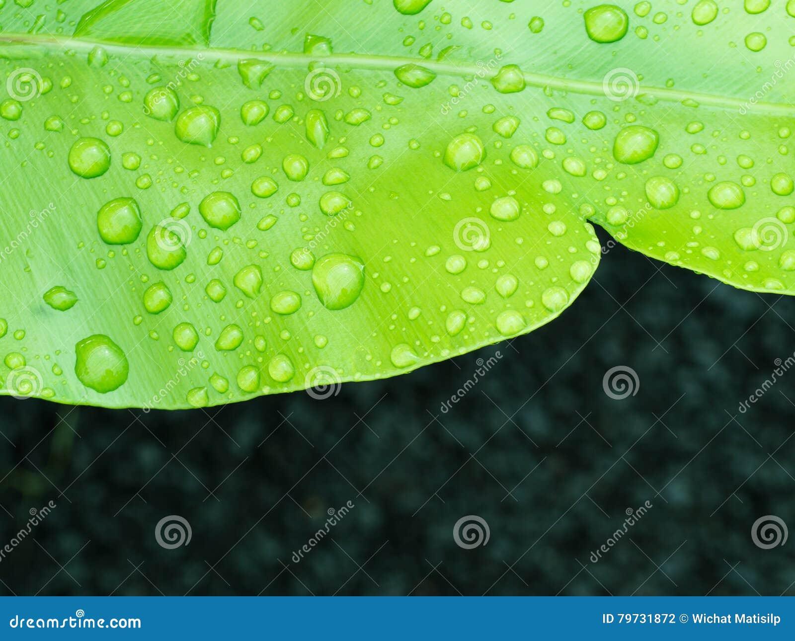 Gota de agua en el helecho del Aspleniaceae
