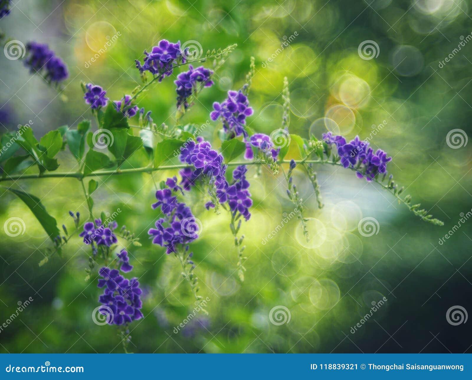 Gota de orvalho dourada, flor do céu de Crepping, baga de pombo Pelos povos tailandeses chamados gotas da vela É uma flor roxa