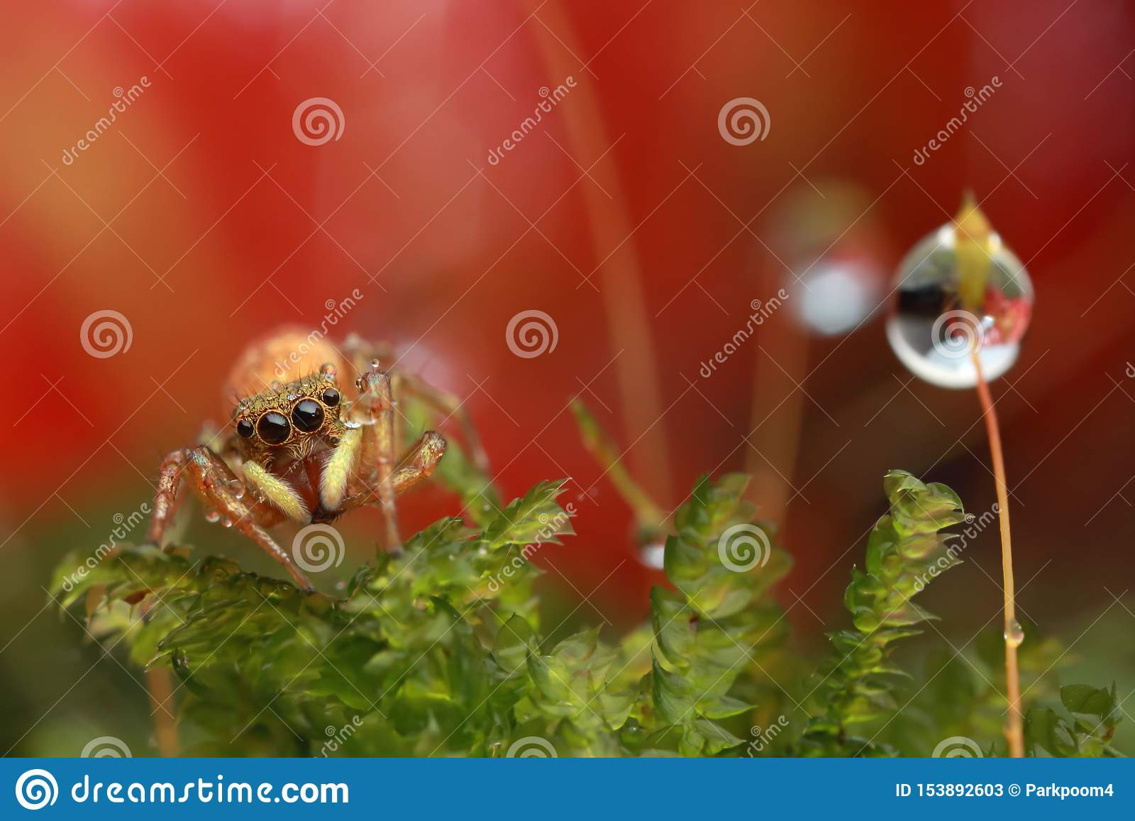 Gota de salto da aranha e da água na flor vermelha na natureza
