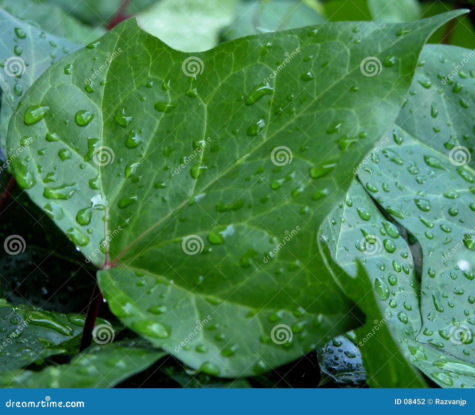 Gotas da água em uma folha