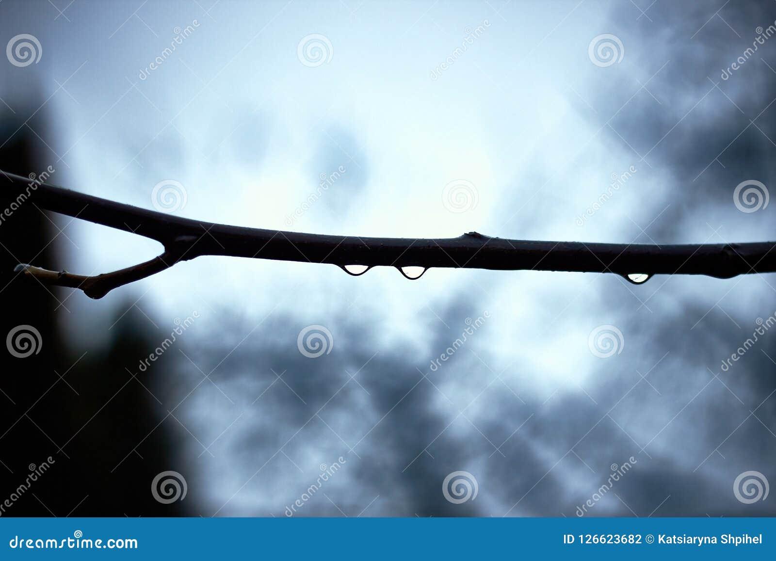 Gotas da água no ramo da árvore no dia chuvoso