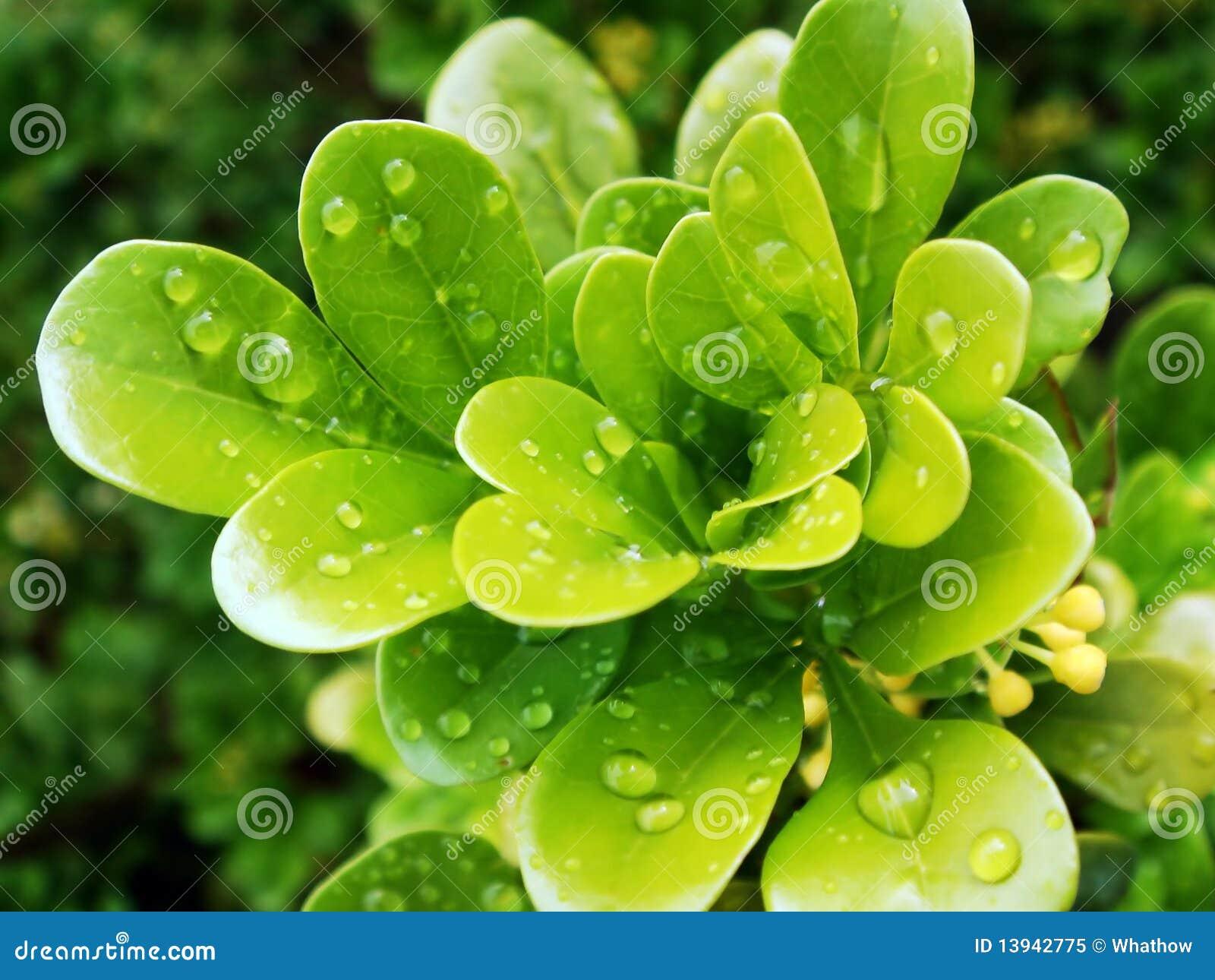 Gotas de agua en las hojas vibrantes frescas del verde