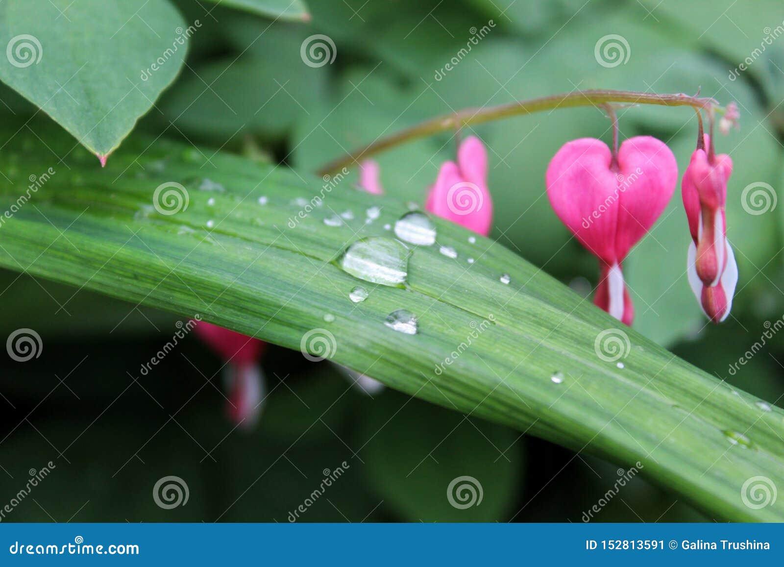 Gotas de agua en una hoja de una planta, flores rosadas en el fondo