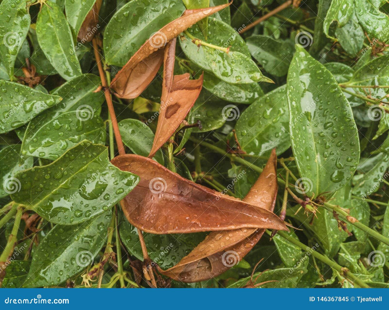 Gotas de lluvia en follaje de las hojas