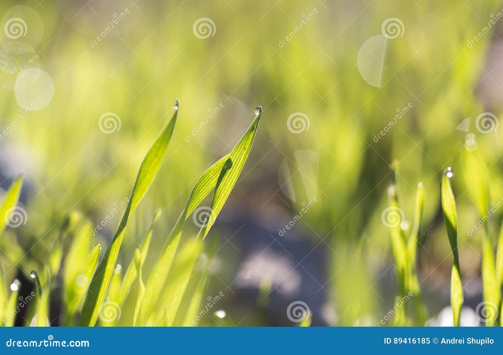 Gotas de orvalho na grama verde no alvorecer