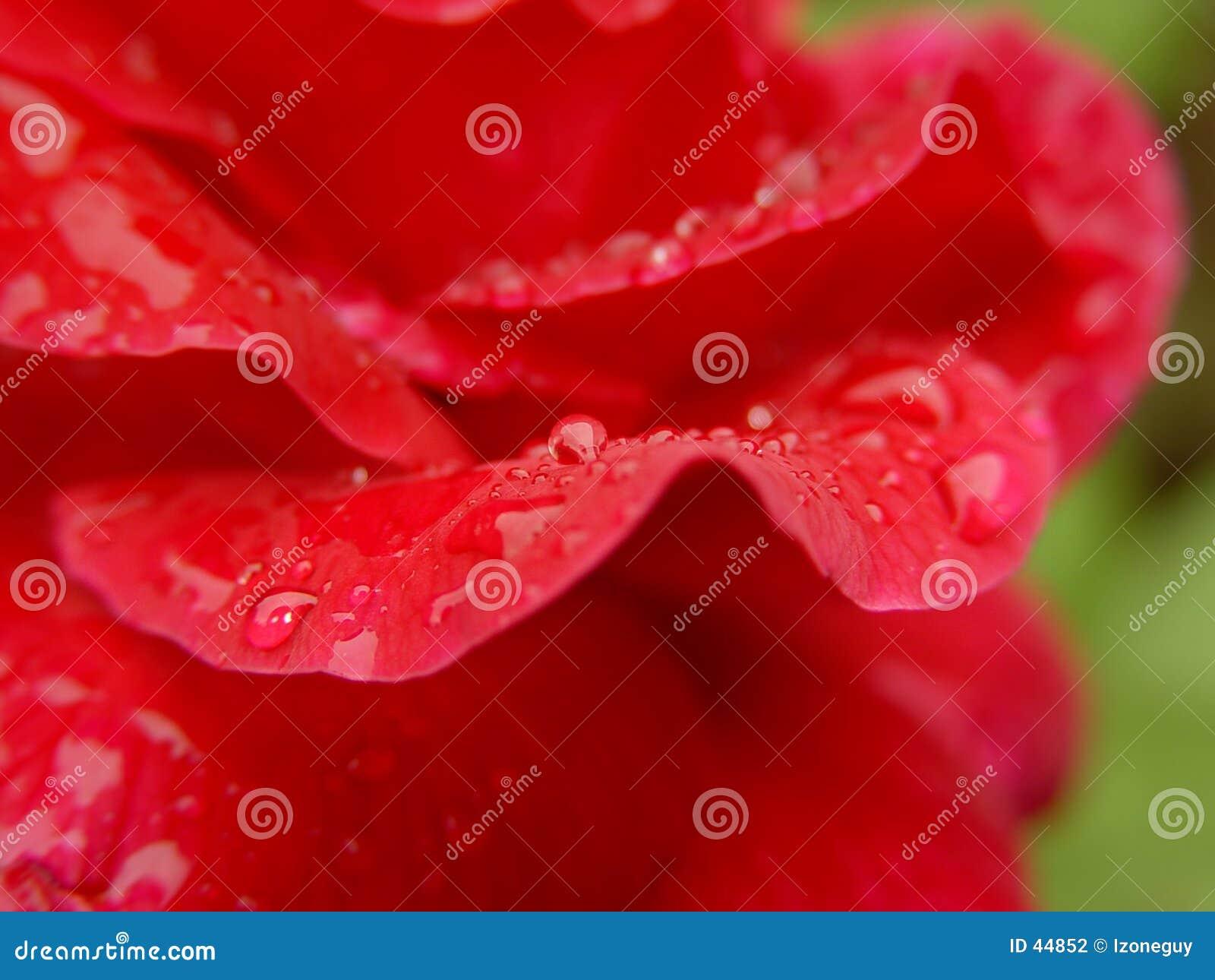 Gotas del agua del pétalo de Rose