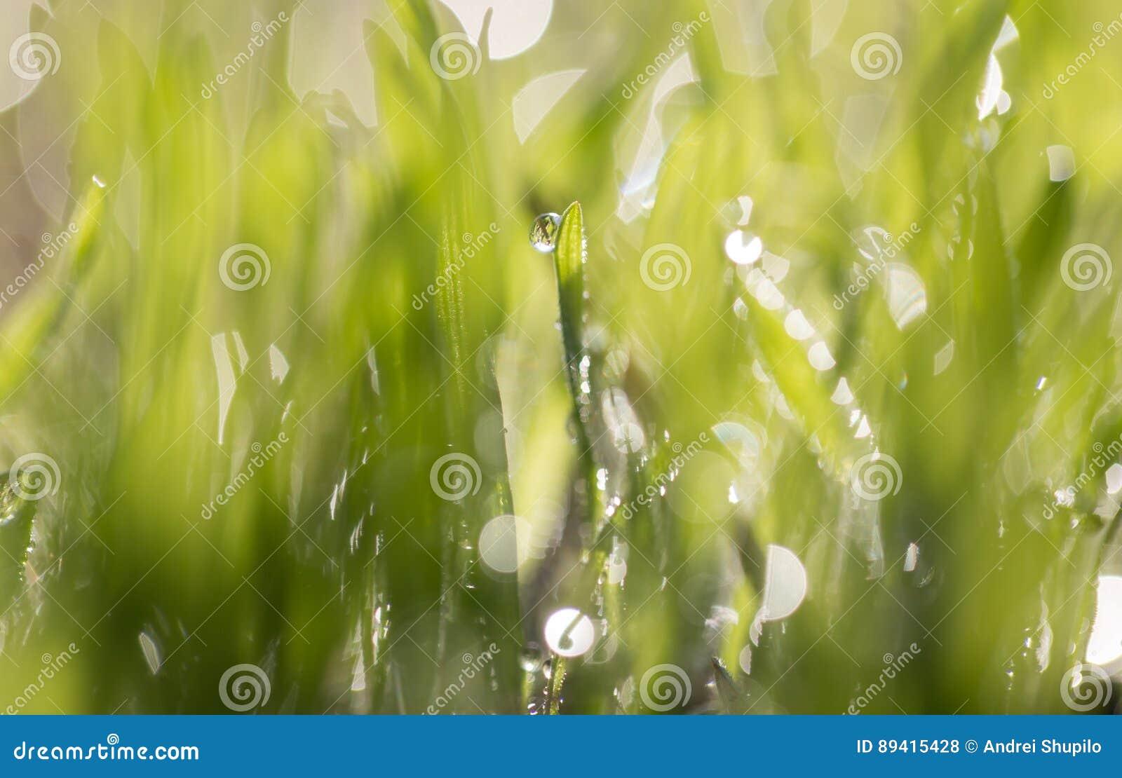 Gotas do orvalho na grama verde