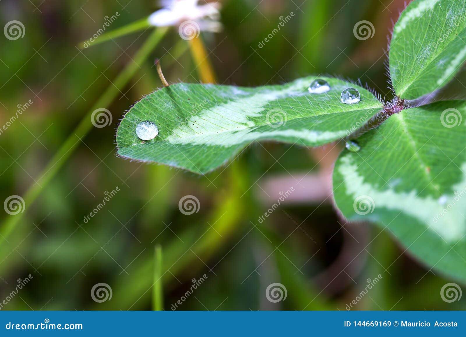 Gotas do orvalho sobre uma folha do trevo