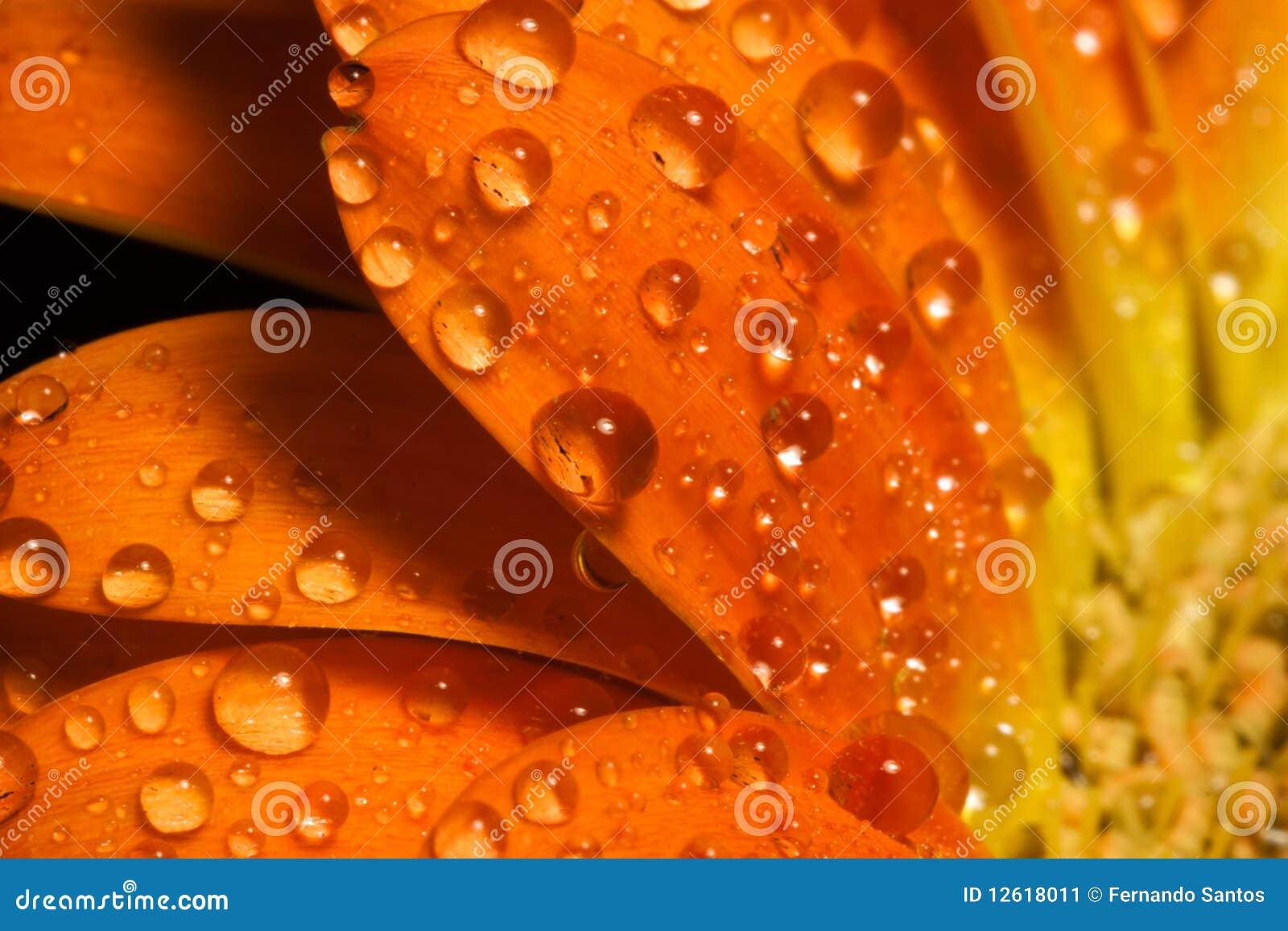 Gotas macras del agua de la flor anaranjada
