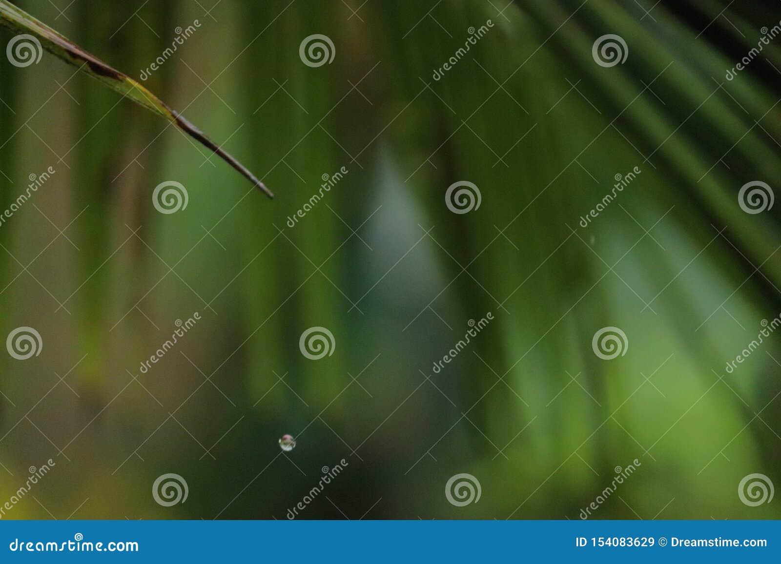Gotejamento da água de uma única folha verde de uma árvore de coco