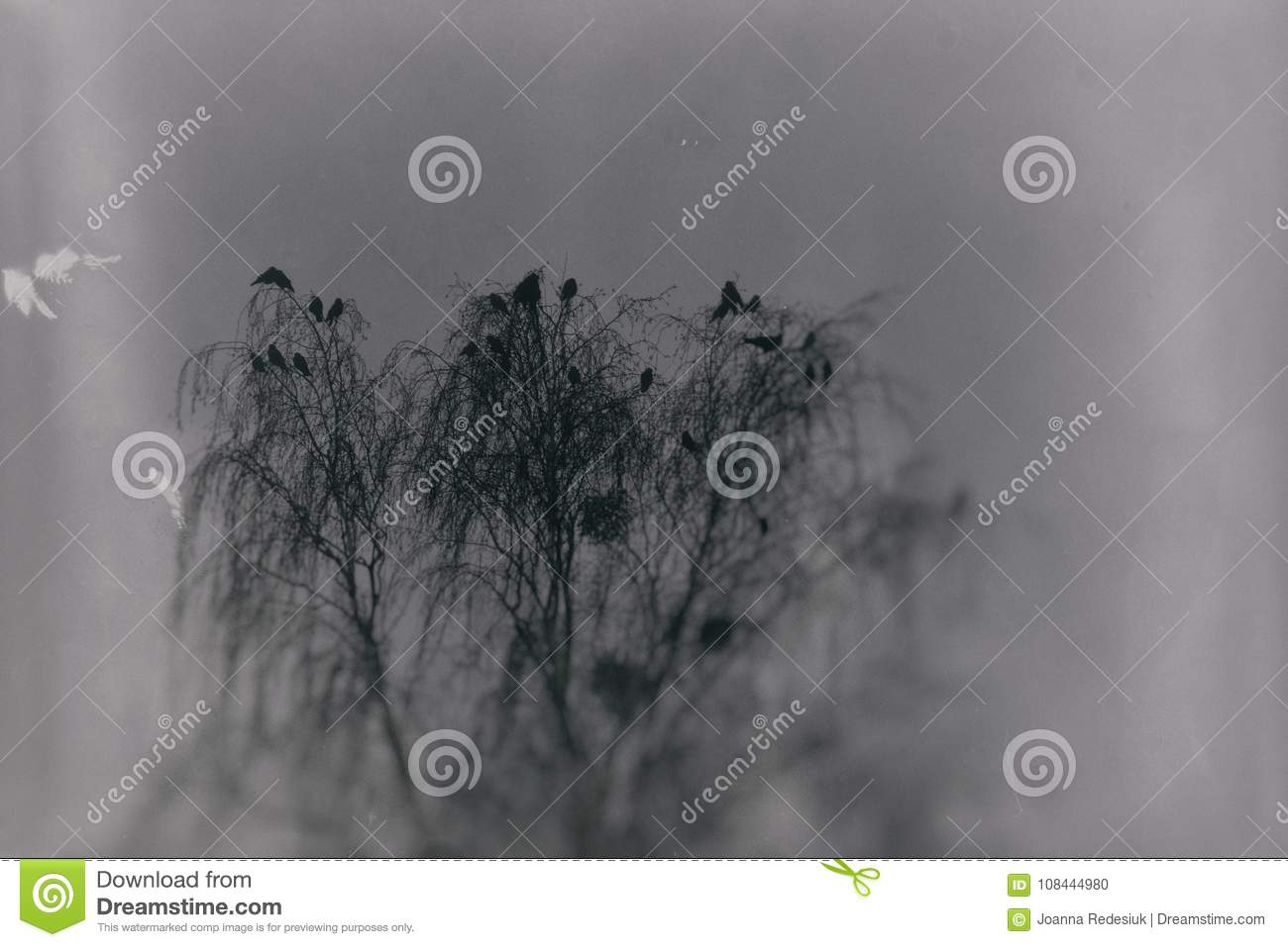 A gothic photograph of black birds sitting on a leafless birch