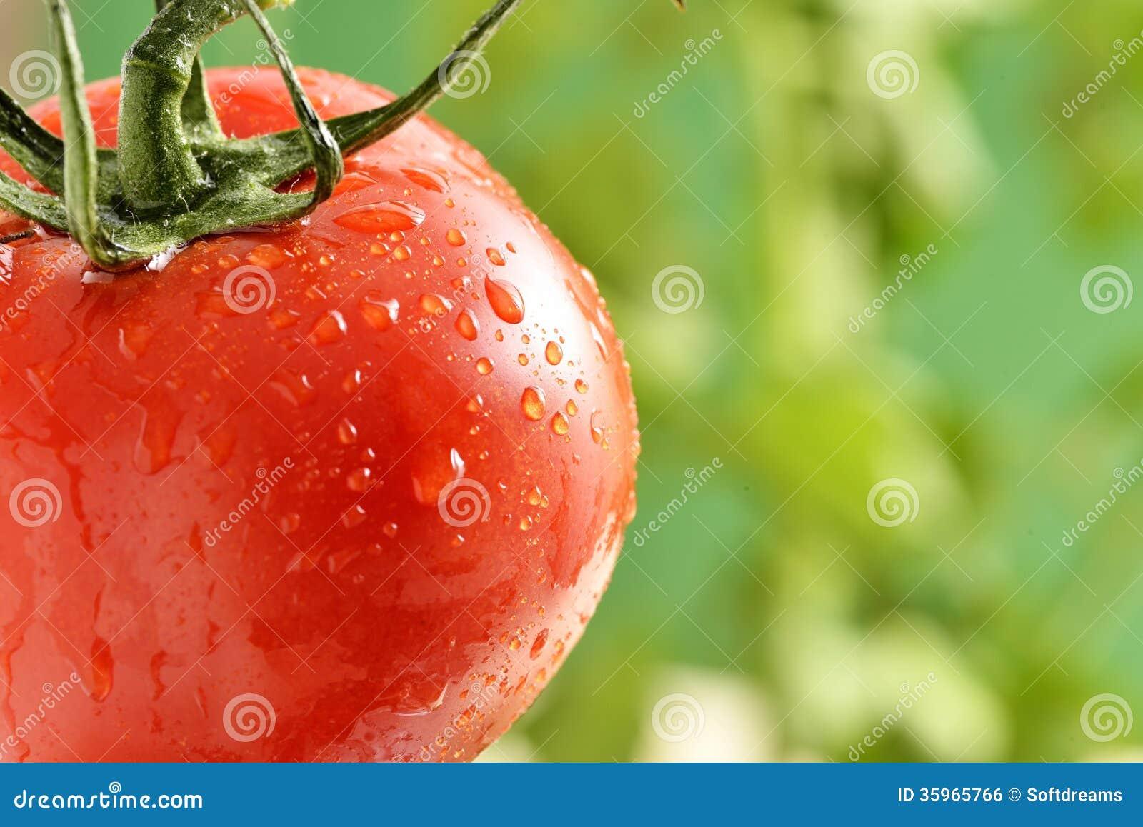 Gotitas de agua en la planta de tomate