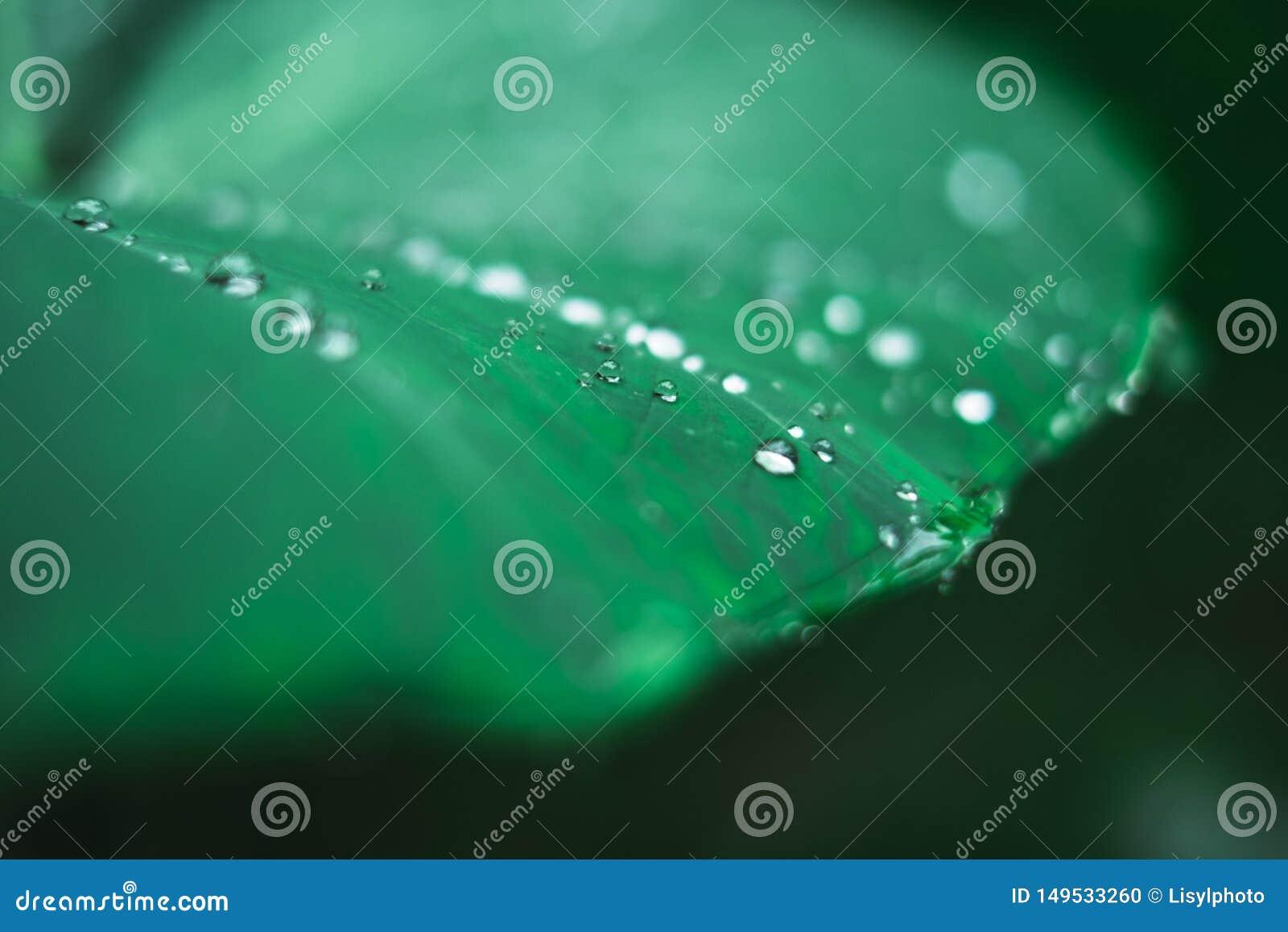 Gotitas de agua en un plant' hoja de s después de una lluvia