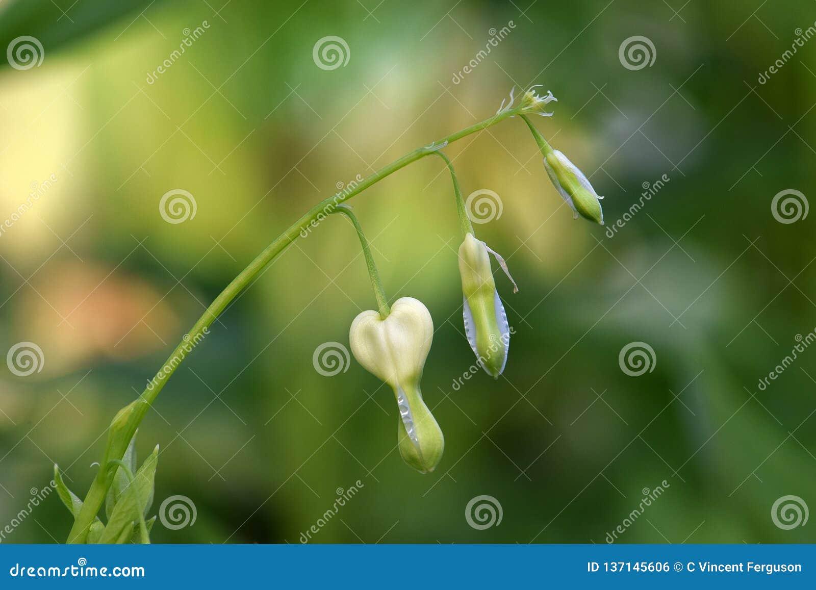 Gotitas de la flor blanca del corazón sangrante