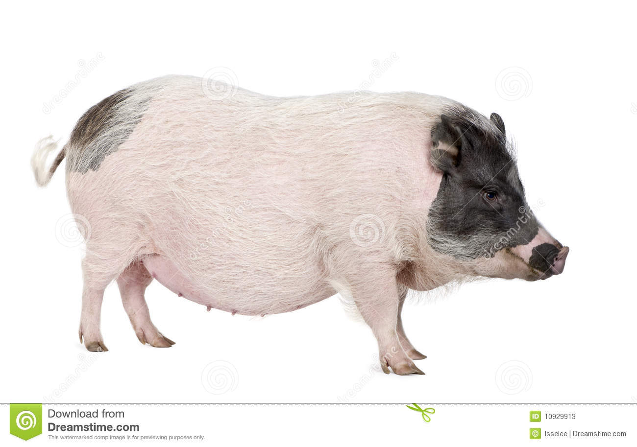 Gottingen Minipig In Front Of A White Background Stock