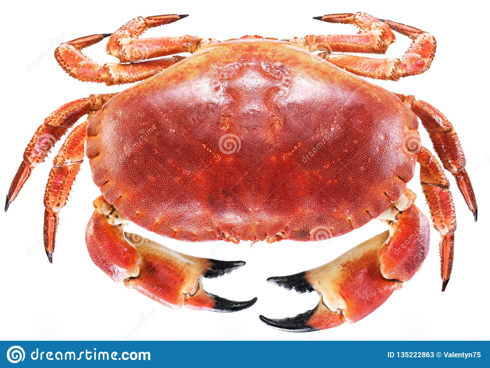 Gotujący brown krab lub jadalny krab
