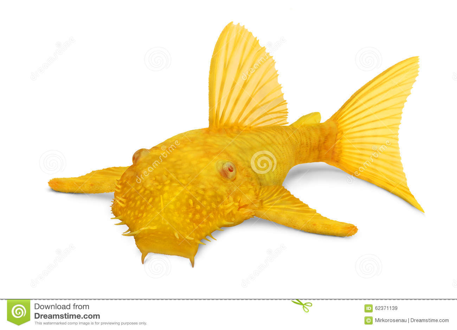 Gouden Ancistrus-van de albinobristlenose van de plecokatvis Mannelijke tropische zoetwater het aquariumvissen