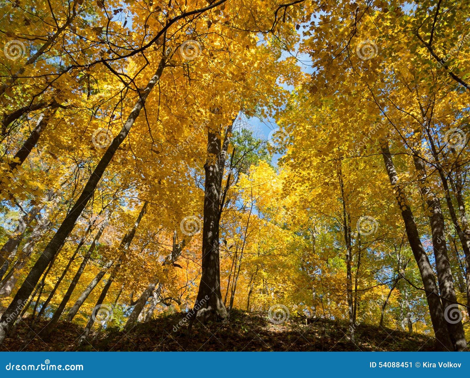 Gouden bomen bij de herfst