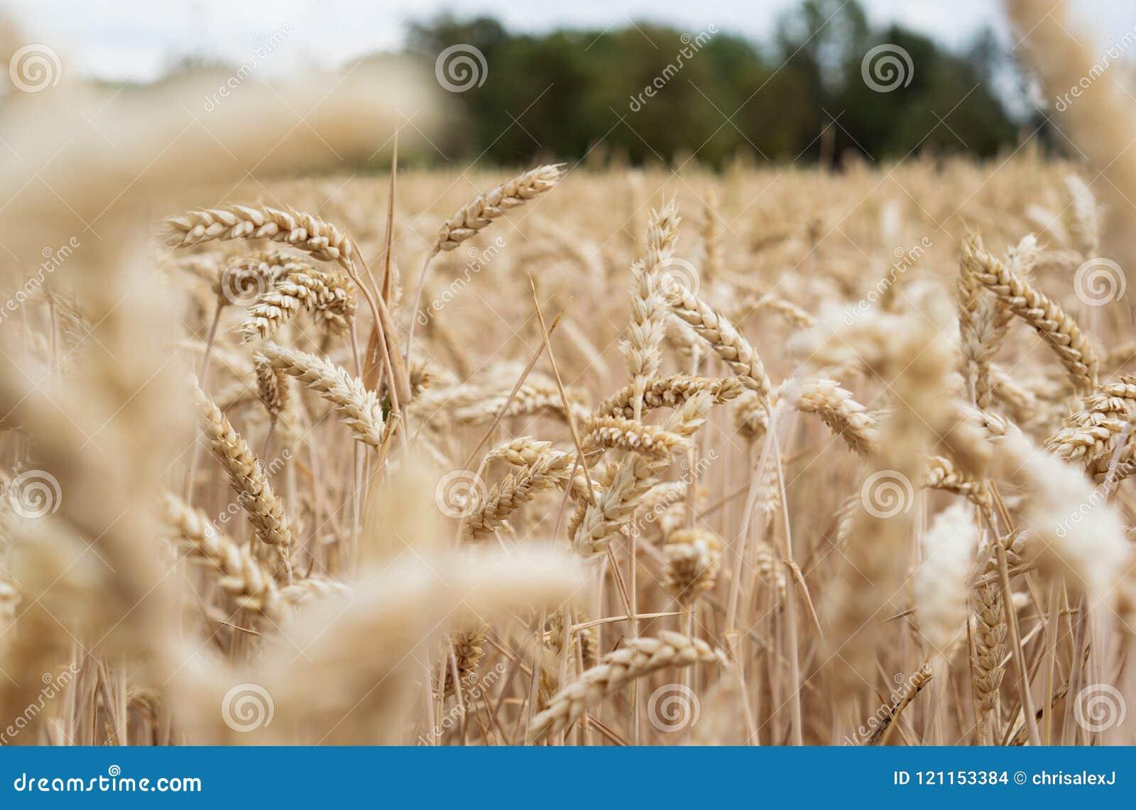 Gouden cornfield klaar voor oogst