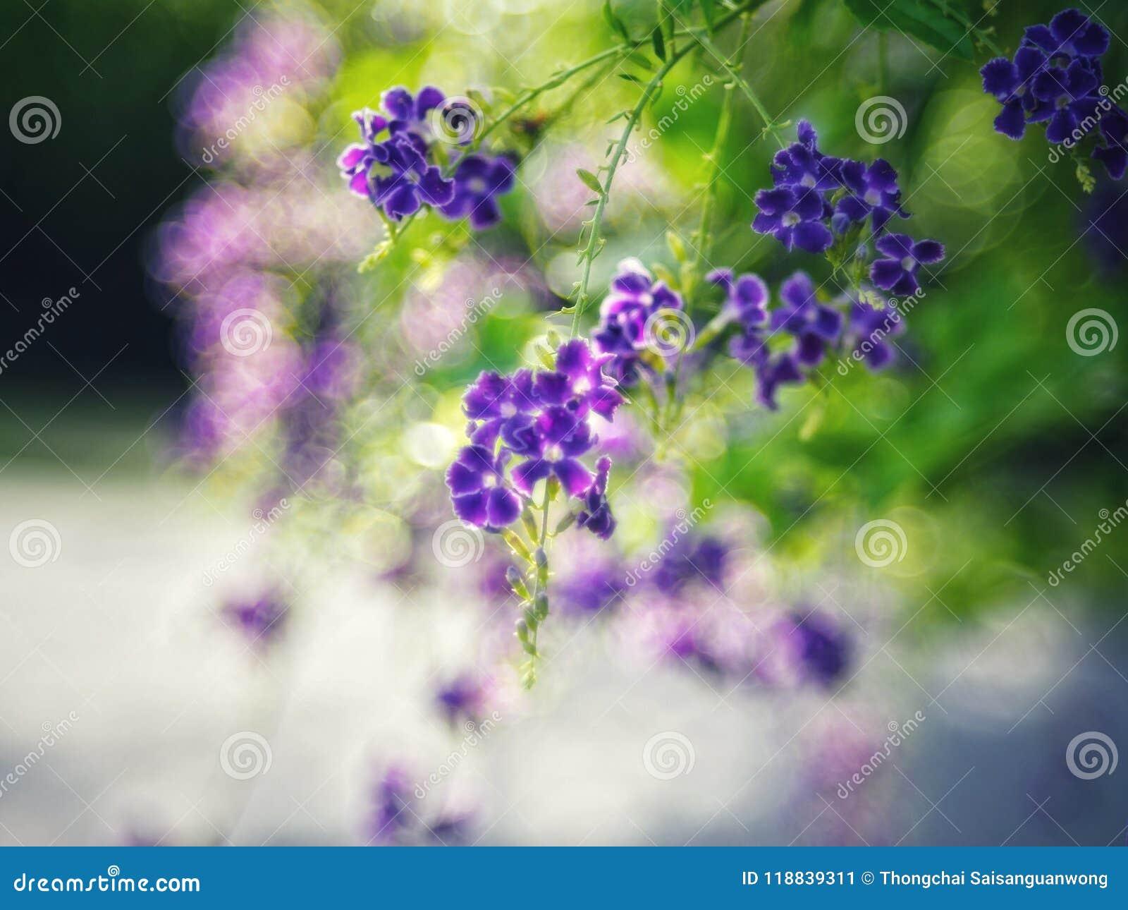 Gouden Dauwdruppel, Crepping-Hemelbloem, Duifbes Door Thaise mensen genoemd kaarsdalingen Het is een purpere bloem
