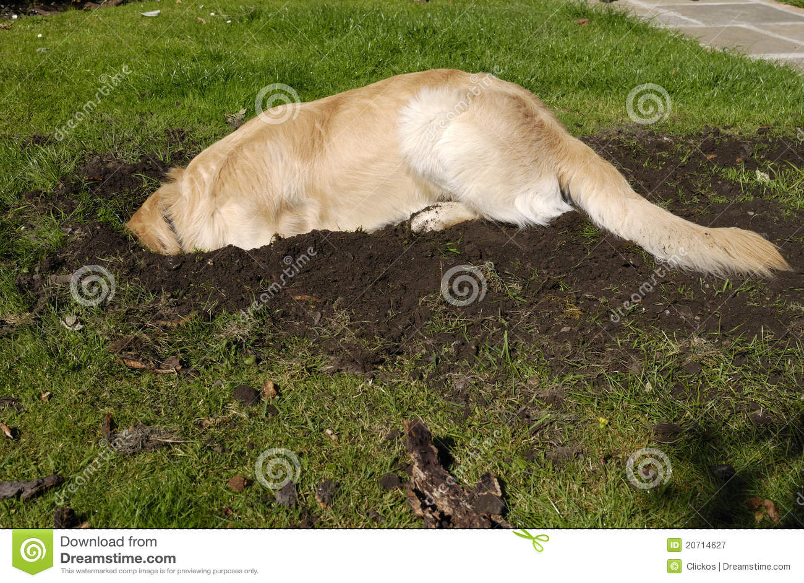 Gouden de hond gravend gat van de Retriever