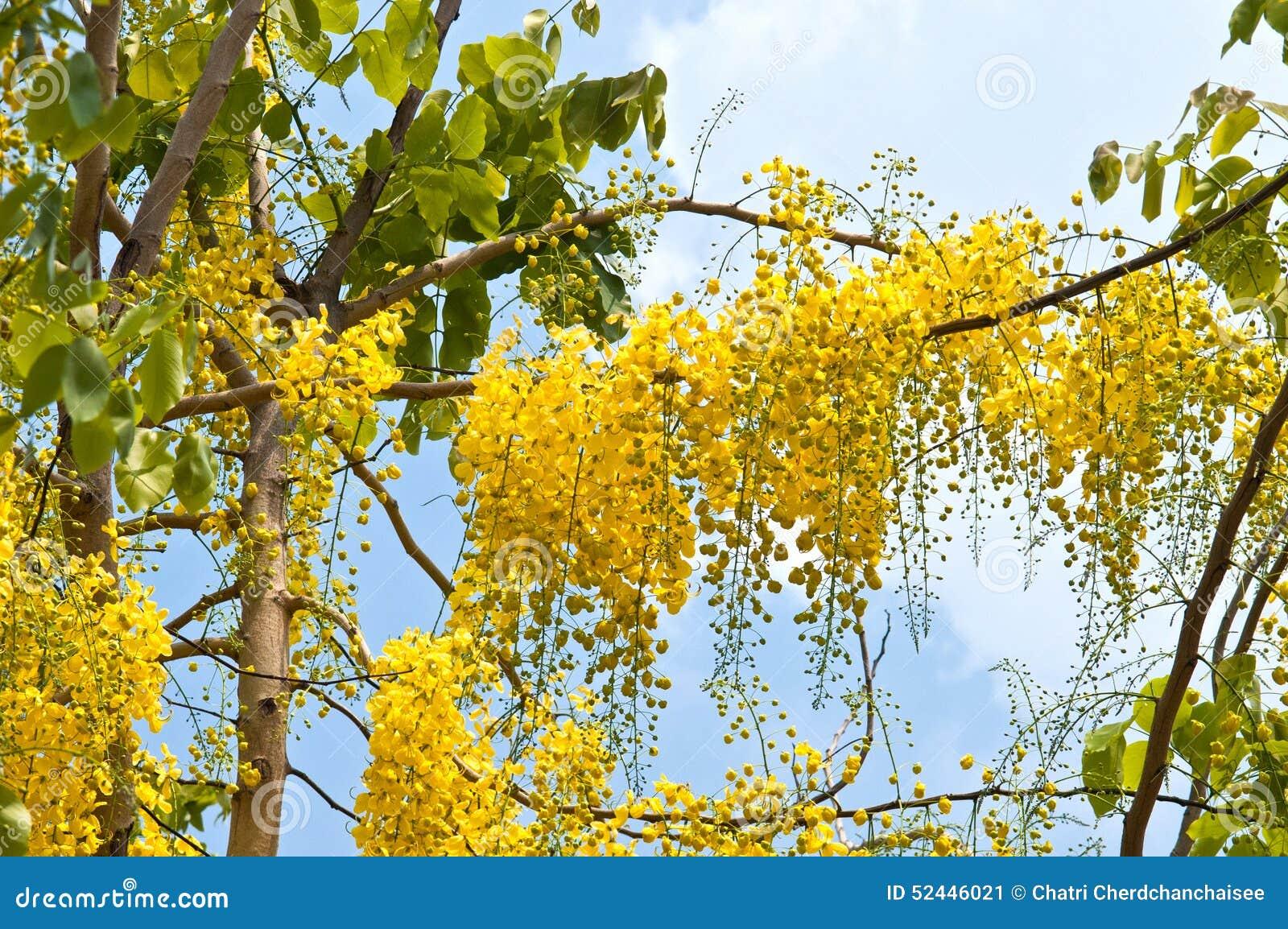 Gouden douche (Kassieboomfistel) op boom