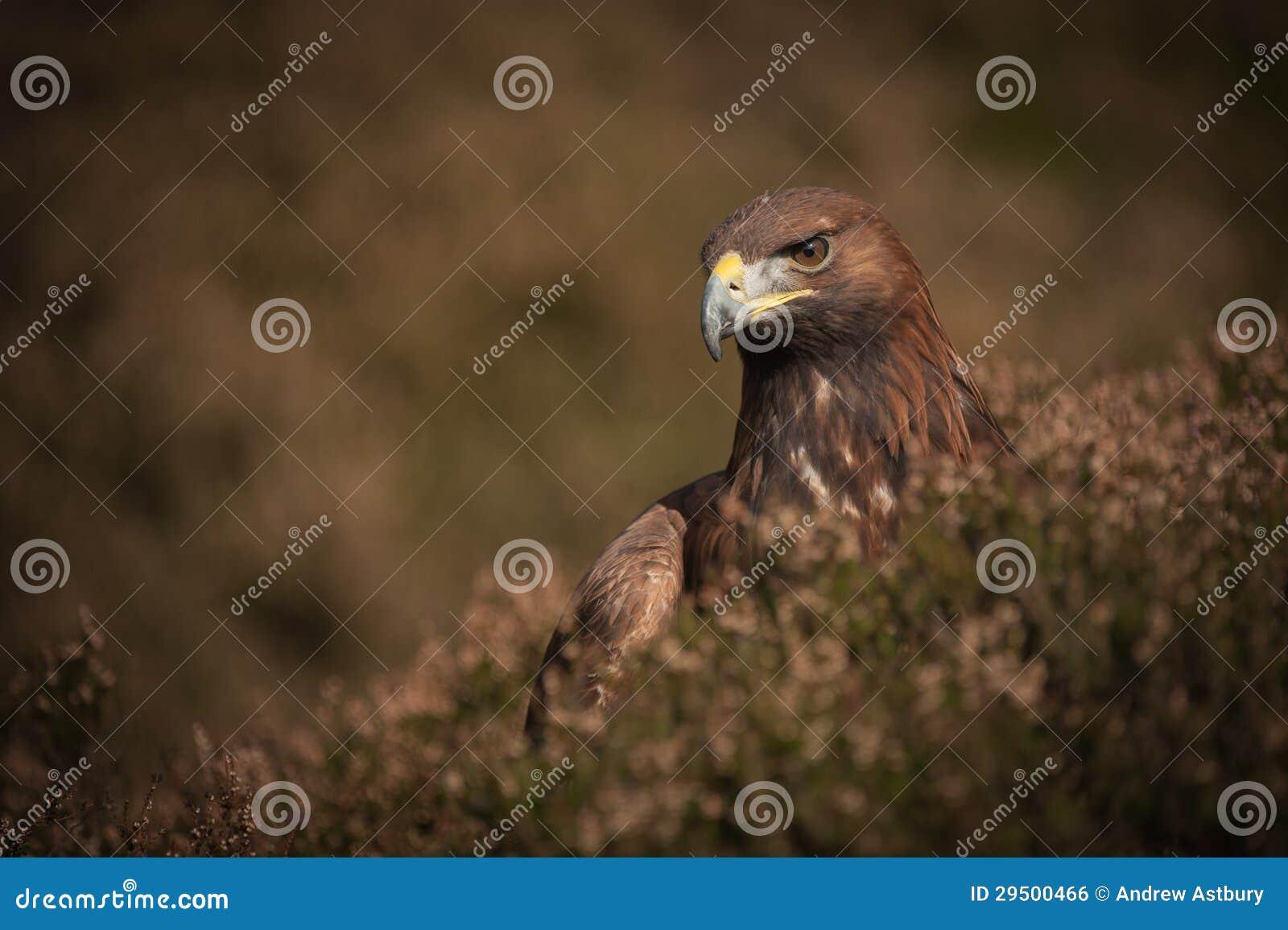 Gouden Eagle