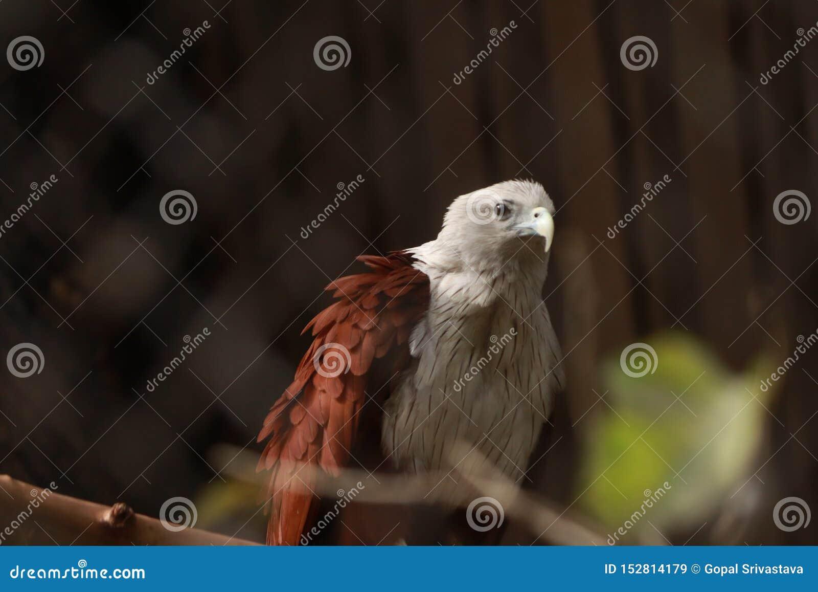 GOUDEN EAGLE IN GEVANGENSCHAP