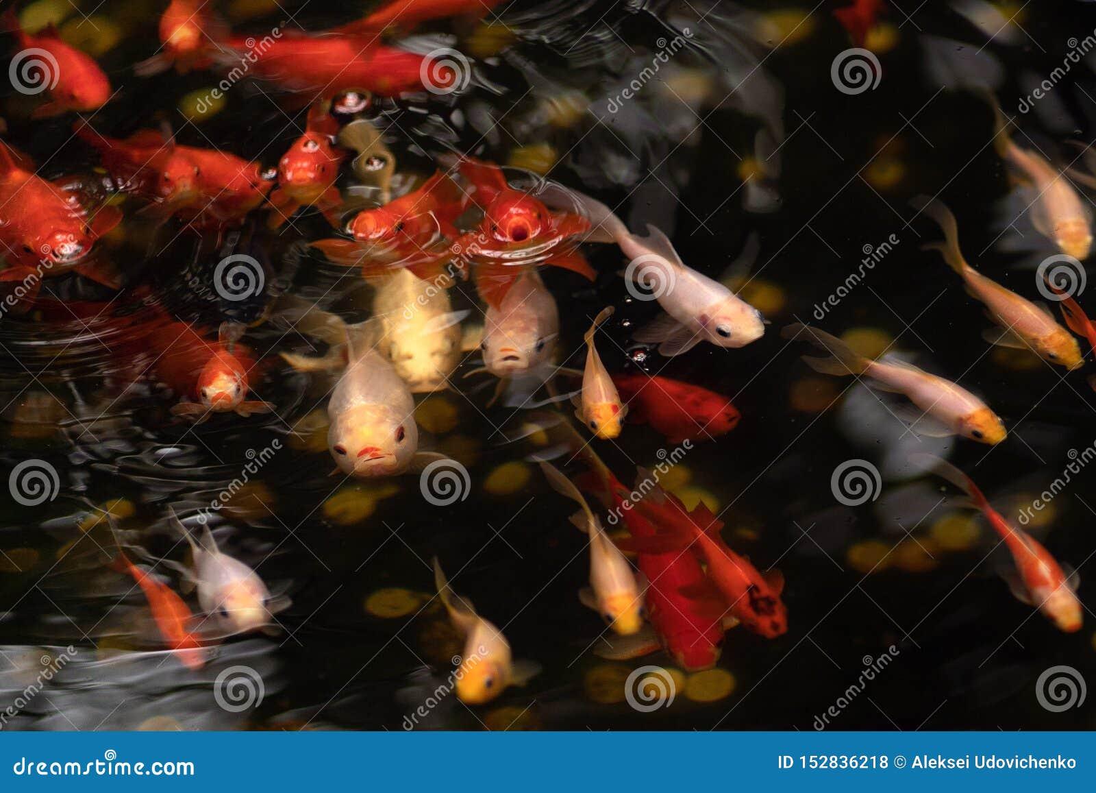 Gouden en rode vissen in vijver met watercirkels