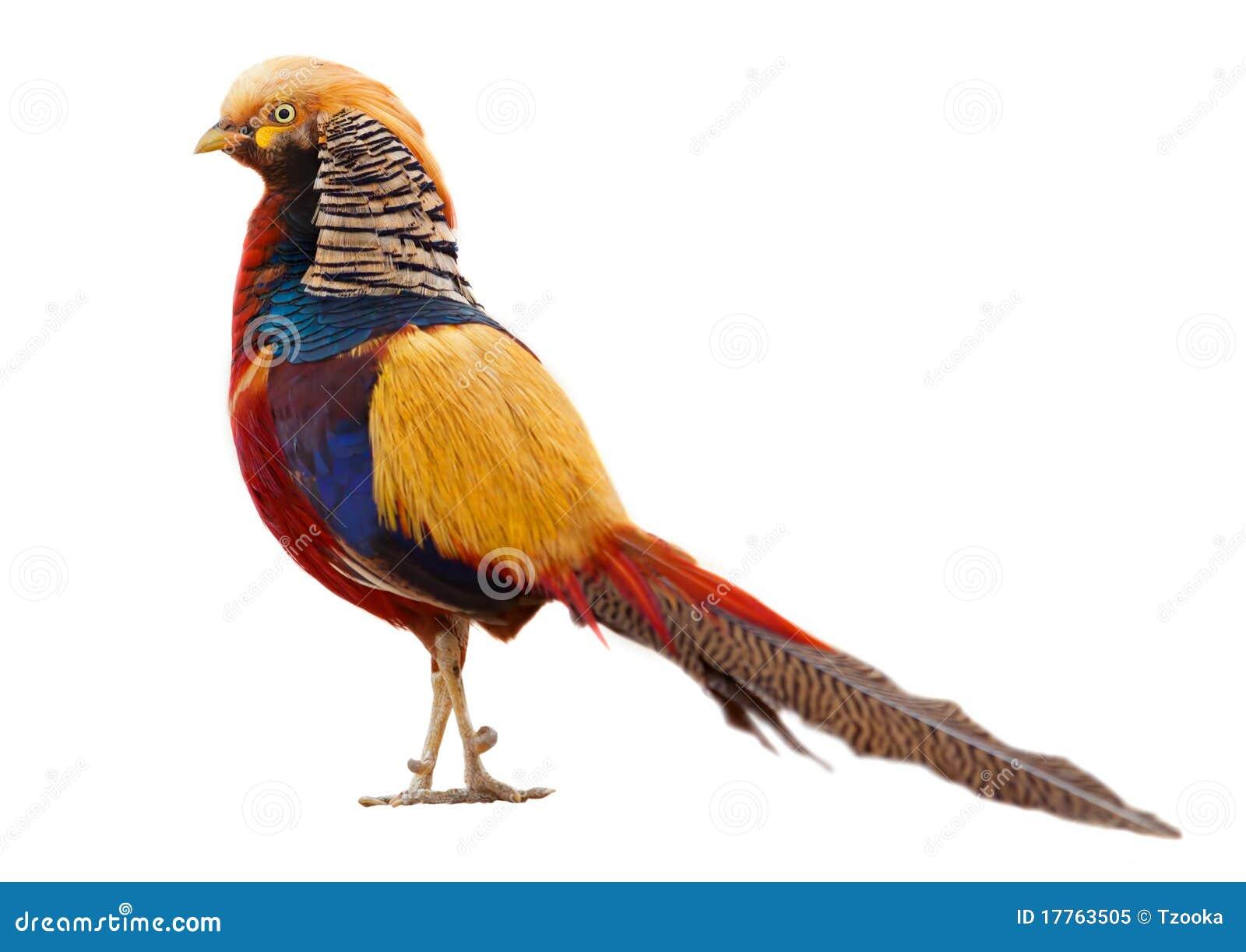 Gouden fazant