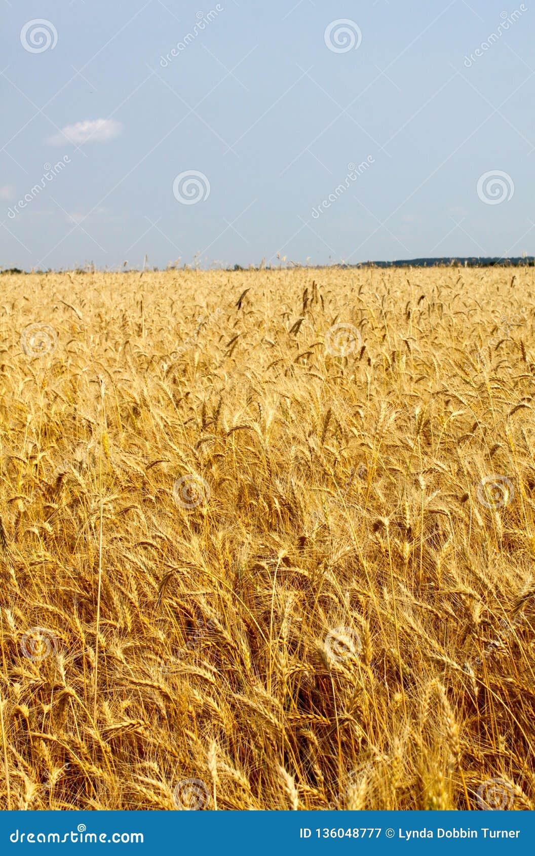 Gouden gebied van gebaarde tarwe