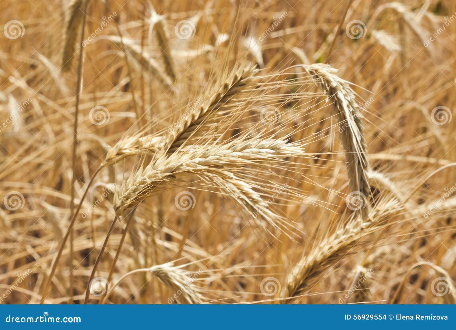Gouden gebied van tarwe klaar om worden geoogst